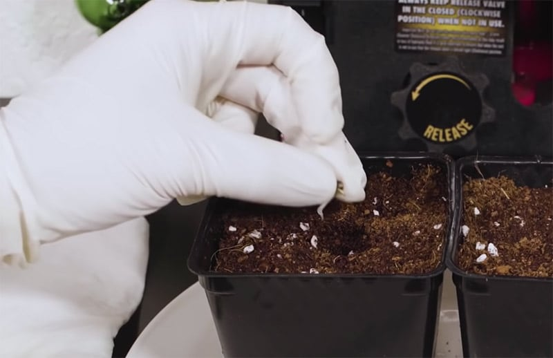 Plant marijuana seeds
