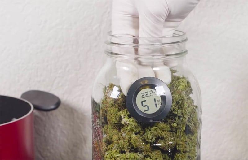 curing marijuana plant